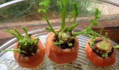 Heute möchten wir dir erklären, wie du Karotten ohne Samen und ohne Garten anbauen kannst. Du benötigst nur einen Balkon, etwas Erde und Geduld und Liebe.