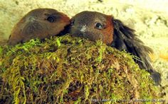 Chestnut-collared Swift (Cypseloides rutilus) couple in nest