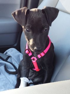 Little Ann CC is an #adoptable Manchester Terrier & Labrador Retriever #puppy w/ Friends of Homeless Animals, Inc. in #Providence, #RhodeIsland ---- Adoption donation $ 299AGE:   16 weeks old as of  10/19/13Weight: 15 lbs as of 10/19/13To watch a video of Little Ann please go to  the following link:https://www.youtube.com/watch?v=2cZu1PtB0UgLittle Ann is Alice's puppy.  Little Ann and her...