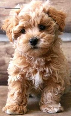 Cute Baby Dogs, Cute Small Dogs, Baby Animals Super Cute, Super Cute Puppies, Cute Little Puppies, Cute Dogs And Puppies, Cute Animals, Doggies, Teddy Bear Puppies