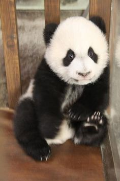 Panda bear  #panda   #bear    # Pinterest++ for iPad #