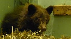 Orphaned baby bear recovering;he was found living among chickens in a chicken coop...no,he did not eat the chickens!