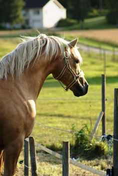 Welsh Cob (section D) stallion Jebeth Hitchhikers Guide