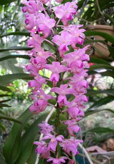 aerides quinquevulnera var purpurata   Aerides quinquevulnera ~ Orchidee