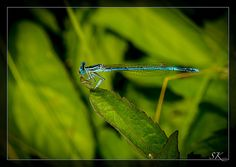 Libelle °° dragonfly