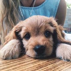 Looks like my pup. Little cocker spaniel. Cute Puppies, Cute Dogs, Dogs And Puppies, Doggies, Animals And Pets, Baby Animals, Cute Animals, Best Dog Breeds, Tier Fotos