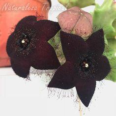 Flores de la planta suculenta Orbea melanantha