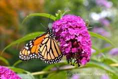 This is a picture of a monarch butterfly that landed on a butterfly bush outside of our home in New Jersey.  The photograph is called Spring Time Butterfly.  Butterfly, animal photography, wildlife photography, New Jersey, home decor, cool home decor, flowers, spring, nature