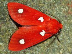 Tiger moth, Hyperthaema sanguineata, from Imbabura, Ecuador by Andreas Kay via Flickr (cc-by-nc-sa): http://www.flickr.com/photos/andreaskay/7959209238/