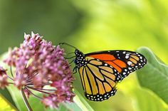 The Value of Milkweed from Birds & Blooms Magazine.  Lend a hand to monarchs by adding this plant to your garden.
