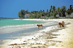 Cattle on the Beach, Jambiani, Zanzibar.