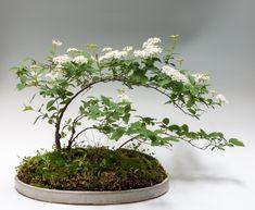 Ikebana, Terrarium Plants, Bonsai Plants, Christmas Fern, Marsh Marigold, Creeping Phlox, Mini Bonsai, Little Gardens, Miniature Plants