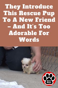 Ruggles the tiny Shih-Tzu puppy was rescued from a puppy mill and then introduced to a new friend to signal a brand new beginning. Bull Mastiff Puppies, Shitzu Puppies, Rescue Puppies, Shih Tzu Puppy, Cute Puppies, Boxer Dog Quotes, Baby Donkey, Dog Stories, Puppy Mills