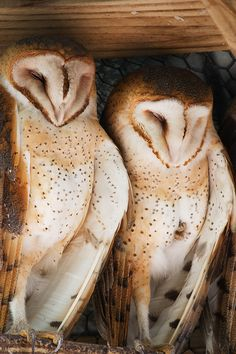 """fairy-wren: """" Barn Owls. Photo by secondclaw """""""
