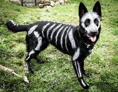 animaux-deguises-en-squelettes-pour-halloween-nikie-le-chien-1
