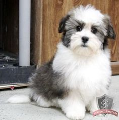 Havanese puppy - Delaney