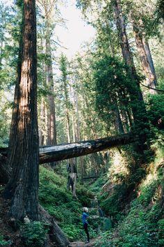 redwood trees photos