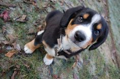 Entlebucher mountain dog puppy - my dream pet dog! Baby Dogs, Pet Dogs, Dogs And Puppies, Doggies, Entlebucher Mountain Dog, Bernese Mountain, Animals And Pets, Cute Animals, Dog Breeds List