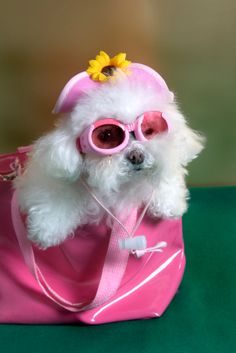 Iris Apfel in dog form?!!! Bebe'!!! All dressed up in pink!!!