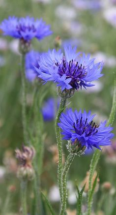 Nature Photograph - Blue Astera by Bruce Bley flower garden Blue Astera by Bruce Bley Amazing Flowers, Purple Flowers, Beautiful Flowers, Purple Flower Photos, Summer Flowers, Garden Pictures, Flower Pictures, Flowers Nature, Wild Flowers