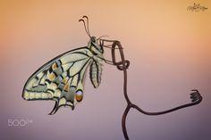 Papilio machaon - null