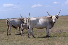 Hungarian Grey cattle, a breed unique to Hungary