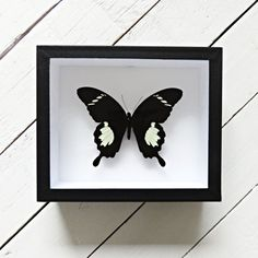 Real framed butterfly: Papilio nephelus // shadowbox // mounted // gift for her // housewarming gift // natural decoration