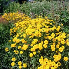 Tickseed 'Sunray' • Coreopsis grandiflora 'Sunray' • Plants & Flowers • 99Roots.com