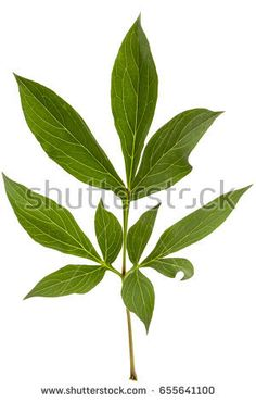 Find Leaf Peony Flower Lat Paeonia Isolated stock images in HD and millions of other royalty-free stock photos, illustrations and vectors in the Shutterstock collection. Deer Resistant Flowers, Deer Resistant Perennials, Macro Flower, Peony Flower, Flowers Perennials, Planting Flowers, Year Round Flowers, Peony Illustration, Flowers