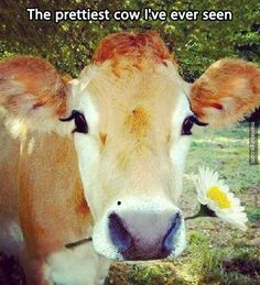 The prettiest cow!