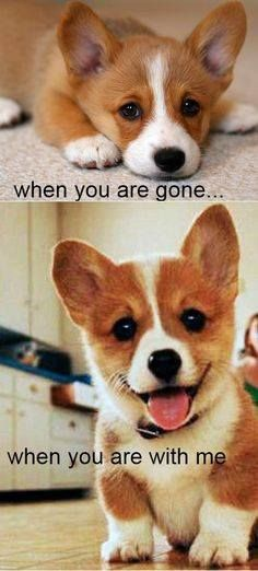Corgis are so small and sunny. I can't help but smile whenever i see this. My dogs are also like this.