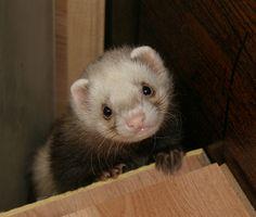 Funny Ferrets | Funny ferret photos