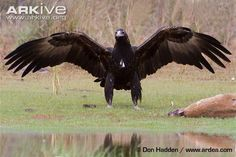 wedge-tailed-eagle-with-wings-outspread.jpg 650×434 pixels