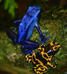Azureus (blue) dart frog, and Leucomeles (yellow and black) Dart Frog