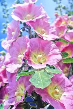 Hollyhocks behind a friend's house just east of Toronto's Don Valley, not far from the lake (photo: Dave Melnychuk)