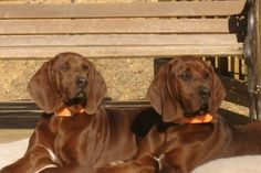 Red bone coon hounds.