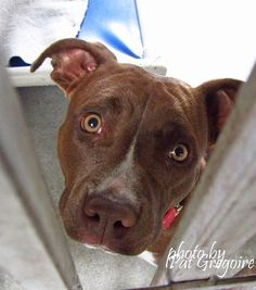 A4856787 My name is Patty. I am a very friendly 1 yr old female red Staffordshire Bull Terrier mix. I came to the shelter as a stray on July 17. available 7/22/15  I share these photos to help get these dogs seen and hopefully find homes. I do not work for the shelter nor do I rescue or pull. If you are interested in this dog, please contact the shelter directly to find out its availability. NOTE: Pit bulls are not kept as long as others so those dogs are always urgent!!  Baldwin Park…