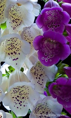✯ Foxglove ... My sweet mothers favorite flower.  Every time I see one I think loving thoughts of her.