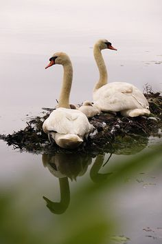 nesting swans - you don't see them too often, but they are so beautiful