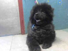 "rescued :-) finally! RE: Lancaster CA: Past urgent. What is the problem? Highkill County of Los Angeles facility impounded already spayed Spitz-type dog ""Bear"" A4089551"
