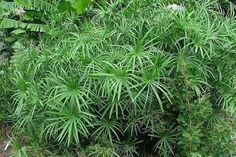 Zyperngras (Cyperus alternifolius syn. Cyperus involucratus) - Reinigt die Luft