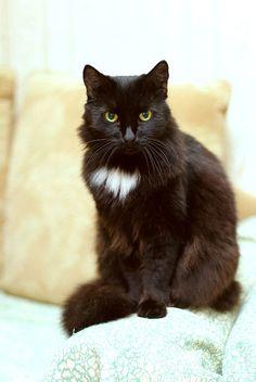 Gatto siberiano - Seppia