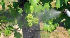 A szőlő augusztusi növényvédelme