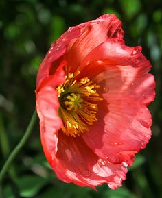 Sun Lit Poppy 1 Print By Mo Barton
