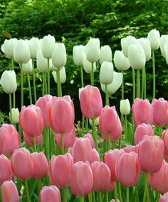 Pink and white Tulips Bulb Flowers, Tulips Flowers, My Flower, Daffodils, Pretty Flowers, Spring Flowers, Flower Power, Tulip Wedding, Wedding Flowers