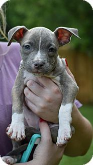 9/17/16 - Dallas, GA - Pit Bull Terrier. Meet Amelia, a puppy for adoption. http://www.adoptapet.com/pet/16453186-dallas-georgia-pit-bull-terrier