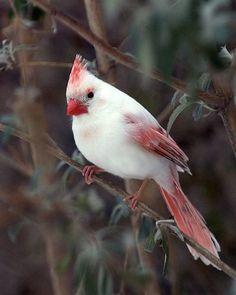 Rare and Beautiful Female Albino Cardinal