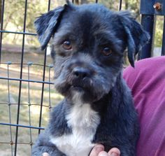 Tyler is a 12-pound male, a 2 year-old Shih Tzu. He is a social little guy who walks very nicely on his leash and seems to get along well with other dogs. $250 adoption fee. Pets Without Partners adoption events are 10 a.m. to 3 p.m. Saturdays at PetSmart in Redding.Go to www.petswithoutpartners.org.  Go to www.redding.com for more adoptable pets.