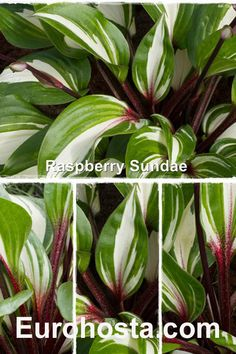 Hosta Raspberry Sundae. White leaves with green edges and red leaf stems.