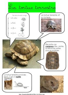 Tortue de terre                                                                                                                                                      Plus                                                                                                                                                                                 Plus Preschool Curriculum, Preschool Science, Life Science, Science And Nature, Kindergarten, How To Speak French, Learn French, File Folder Activities, French Education